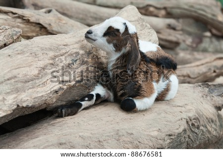 Baby goat is lying on the log.