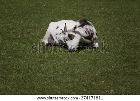 Baby goat lying on the green spring  grass