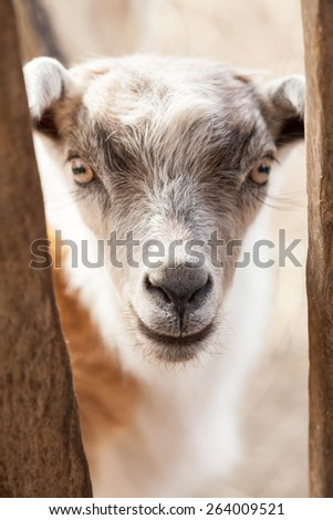 Baby goat portrait with details