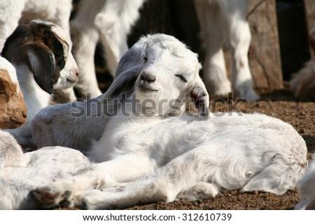 Baby goat sleeping - stock photo