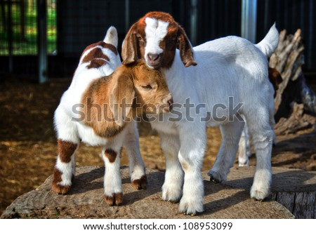 Baby Goats - stock photo