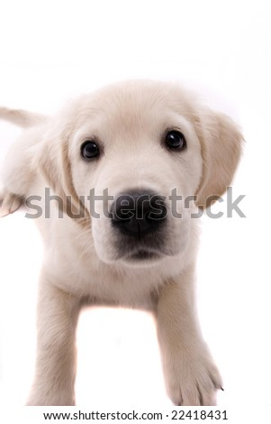 Baby Golden Retriever Portrait - Isolated over white background - stock photo