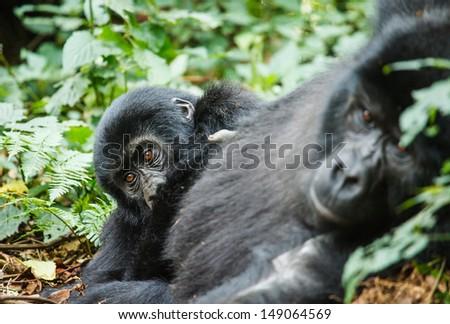 baby gorilla and mom in wild on Uganda - stock photo