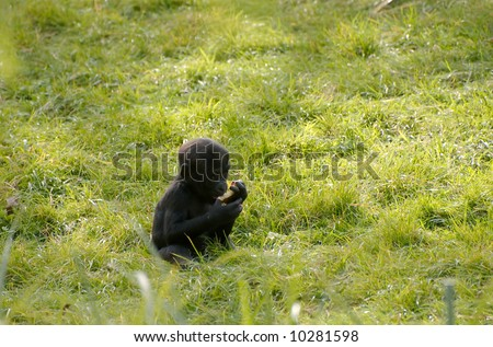 Baby gorilla eating a piece of fruit - stock photo