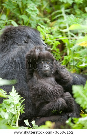 Baby gorilla in Volcano National Park in Rwanda - stock photo