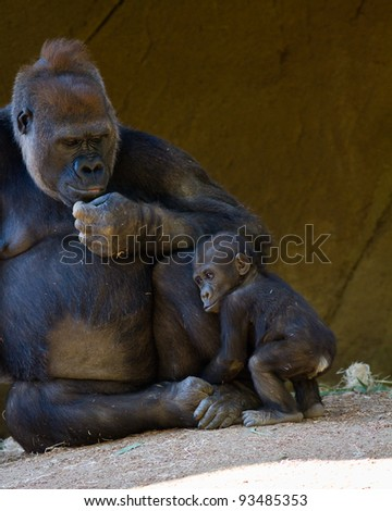 Baby Gorilla with his mother in captivity at a zoo - stock photo