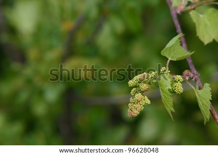 Baby Grapes  V - Shallow depth of field study of grapevines with baby grapes and flowers of a tree which supports the vines - stock photo