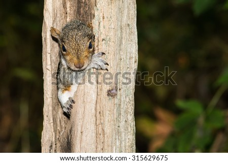 Baby Gray Squirrel - stock photo