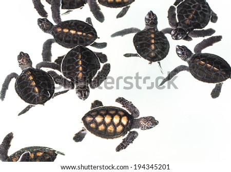 Baby green turtle - stock photo