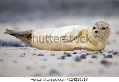 Baby grey Seal on the beach - stock photo