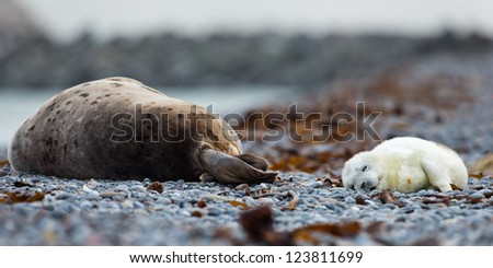 Baby Grey Seal sleeps by mom