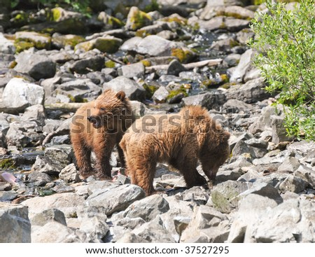 baby grizzlies catching salmon in creek - stock photo