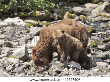 baby grizzly waiting her turn - stock photo