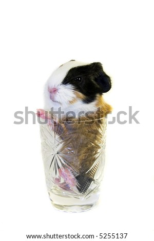 Baby guinea pig in the tea glass isolated - stock photo