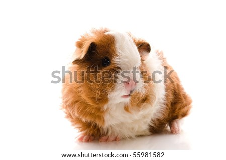 baby guinea pig. texel. isolated on the white