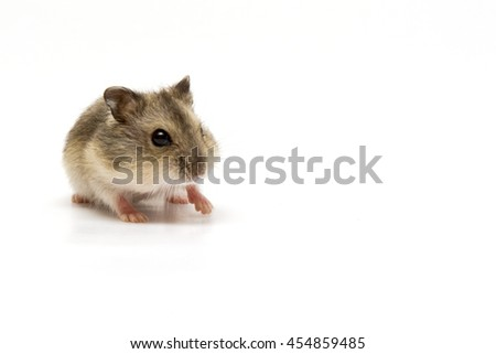 Baby hamster sniffing on isolated background - stock photo