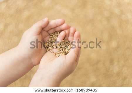 Baby Hands holding wheat grains