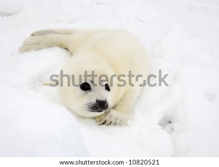 Baby harp seal pup on ice of the White Sea - stock photo
