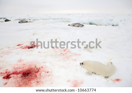 Baby harp seal pup on ice of the White Sea - blood after delivery of seal - stock photo
