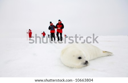 Baby harp seal pup on ice of the White Sea - ecotourism in Arctic - stock photo