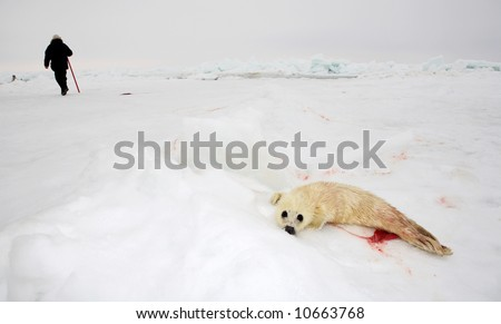 Baby harp seal pup on ice of the White Sea - ecotourism in Arctic - the best way to protect seals - stock photo