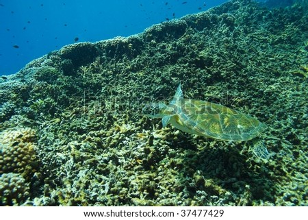 baby hawksbill turtle swims on the reef - stock photo