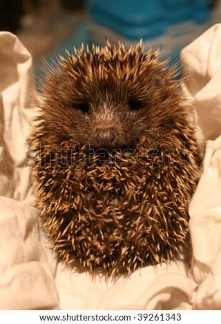 Baby hedgehog - stock photo