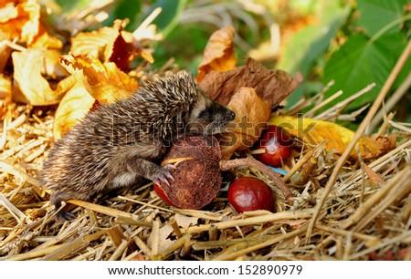 Baby hedgehogs go  - stock photo