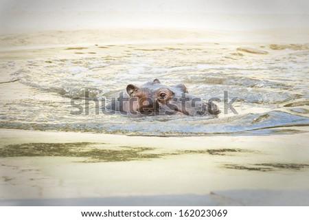 Baby hippo - stock photo