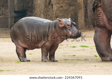 Baby Hippo at New Delhi Zoo - stock photo