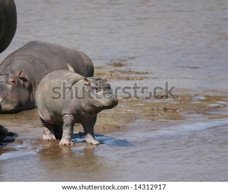 Baby Hippo on a river in the Masai Mara - stock photo