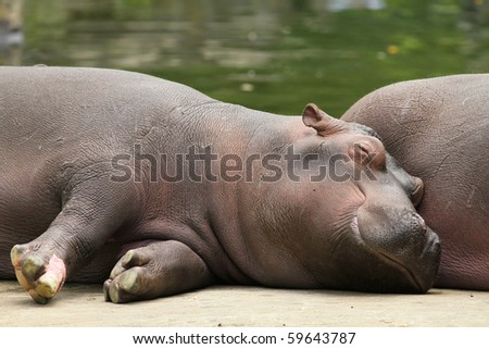 Baby hippo sleeping next to its mother - stock photo