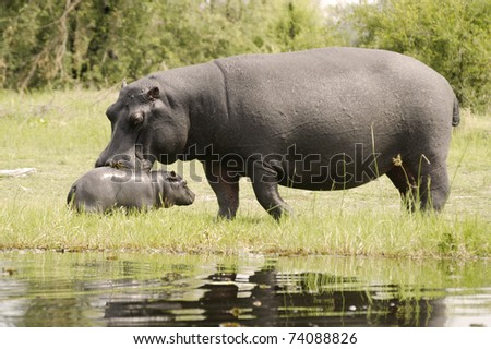 Baby hippo with mother - stock photo