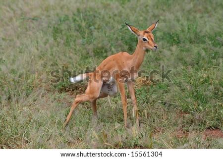 baby impala - stock photo