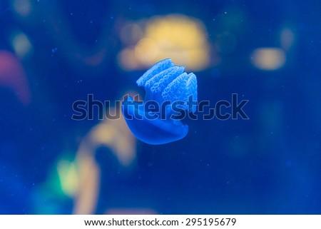 Baby Jellyfish in Aquarium - stock photo