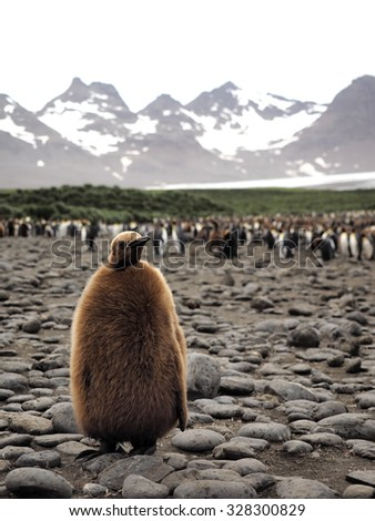 Baby King Penguin - stock photo