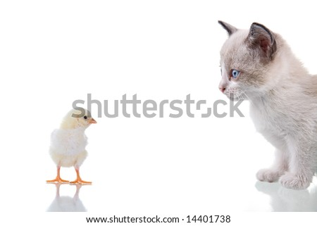 Baby kitten and chick staring at each other. Isolated on white. Studio shot. - stock photo