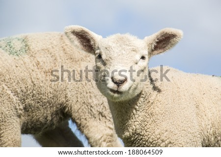 baby lamb against blue sky - stock photo