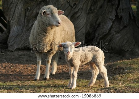 Baby lamb standing in front of it's mother - stock photo