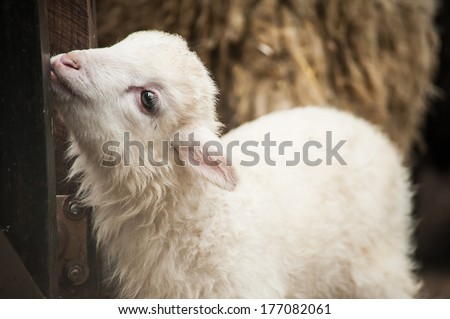 Baby lamb stands in stock yard  - stock photo