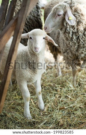 Baby Lamb with Mother; single adorable baby lamb - stock photo