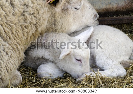 Baby Lamb with Mother; single adorable baby lamb, resting with its mother - stock photo