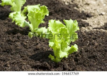Baby lettuce growing in a field - stock photo