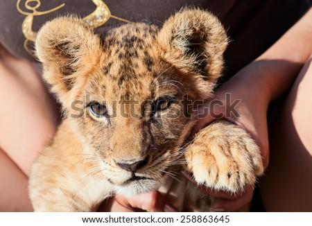 Baby lion animal close up head portrait - stock photo