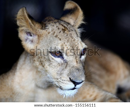 Baby lion looking something - stock photo