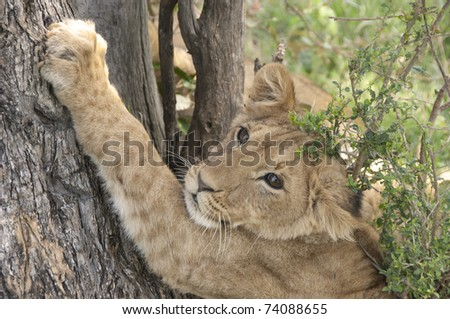 Baby lion scratching the tree - stock photo