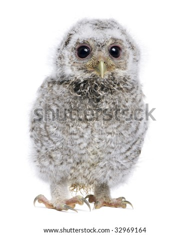 Baby Little Owl - Athene noctua (4 weeks old) in front of a white background - stock photo