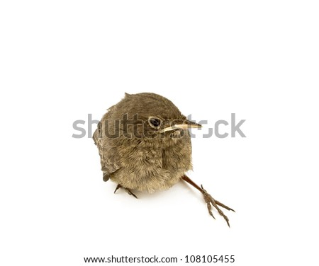baby little sparrow on white background - stock photo