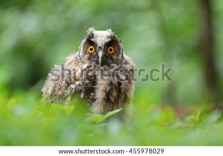 Baby long eared owl - stock photo