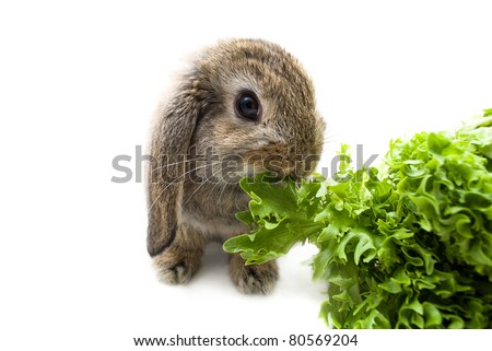 Baby Lop Ear Rabbit eating Lettuce - stock photo